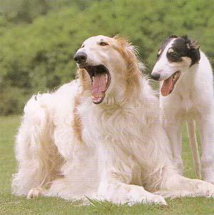 子犬の頃からスタイル抜群!ロシア生まれの超大型犬ボルゾイの高画質な画像まとめ