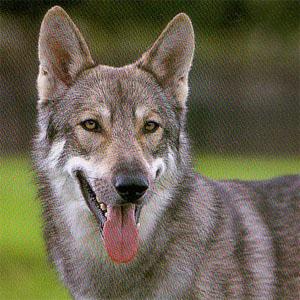 All about German Shepherds: Wolf German shepherd