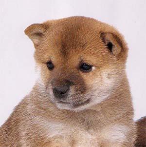 柴犬の画像 p1_35